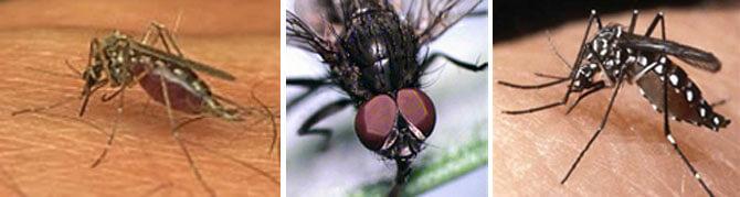 insectos de jardin, moscas y mosquito tigre